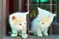 Twin Lil Kittens