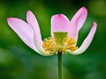 Cutaway Lotus