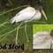 Wood Stork copy