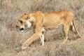 Lion on the Hunt