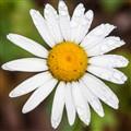 A simple, ordinary daisy