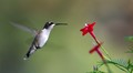 Young Ruby-throated Hummingbird about to visit a Cypress vine