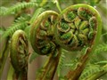 Tree fern tryptich