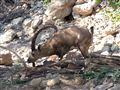 Ibex ,The mountain Goat