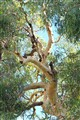 Cool River Gum Crown