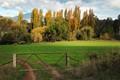 Poplars in the paddock
