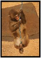 Baby macaque playing