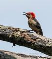 Red-Bellied Woodpecker Baby