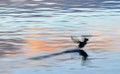 belted kingfisher takes flight at sunrise 2