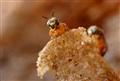 Jataí Bee