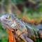 2012-Iguana
