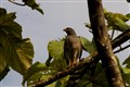 Buteo magnirostris (Roadside Hawk)