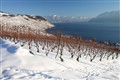 Winter on vineyard