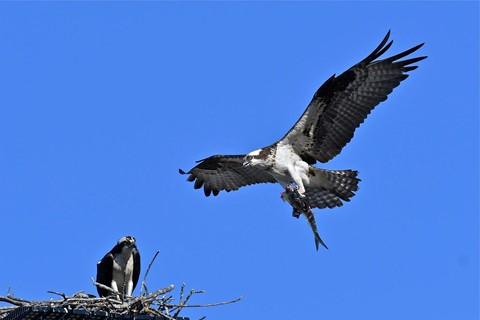 osprey-fish