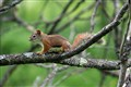 Red Squirrel in Dundas Valley