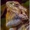 Iguana's Portrait 3
