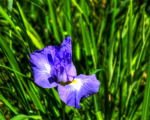 Big Springs Blue Iris