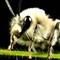 Genus Melissodes Bee