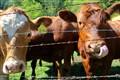 24Volt Cows