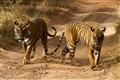 Tiger roadblock