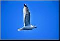 NewfoundlandSeagull