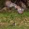 20200913 Crested pidgeon PLRG3376