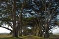 Monterey Cypress Allee