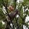 wattlebird full