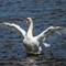 swan (1 of 1)