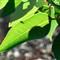 marri leaf