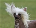 Chinese Crested in the Wind