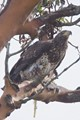 Immature North American bald eagle with remains of a meal at Alki Point, West Seattle.