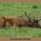 Downcast elk