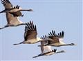 Airborne Demoiselle Cranes