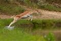 Jumping fallow deer