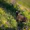 foxwildflower