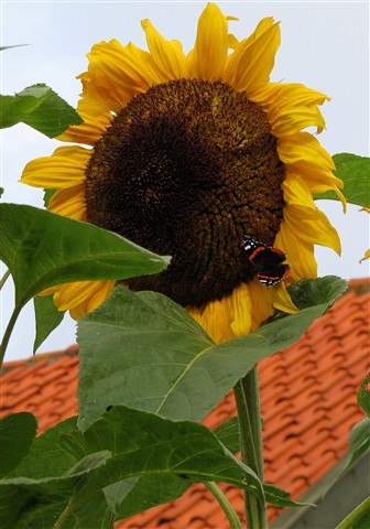 4 metre high sunflower