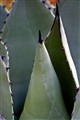 Thorny Agave Plant