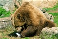 roman bear
