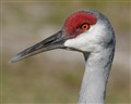Portrait of a Sandhill Crane