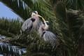 Great Blue heron Smooch