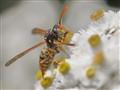 Wespe beim naschen