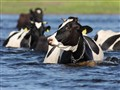 Water cows