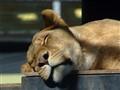 A sleepy Lion