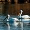White Pelican 004