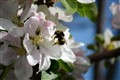 Apple Blossoms with Bee