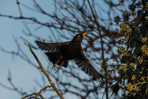 Blackbird (5)