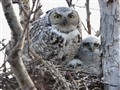 The Great Horned Owl Family Photo