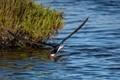Black Skimmer Fishing-3073