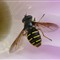 Syrphid1